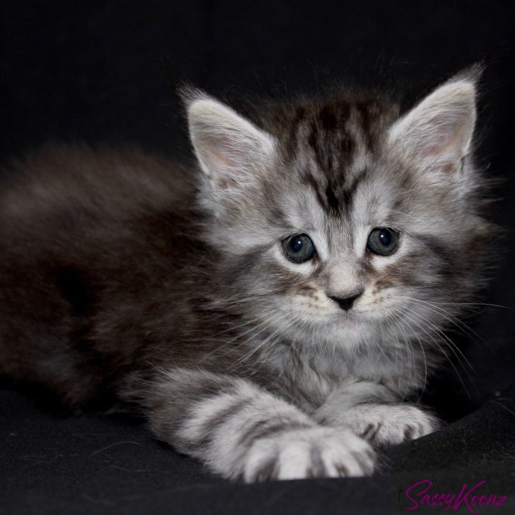 Maine Coon kittens for sale Florida