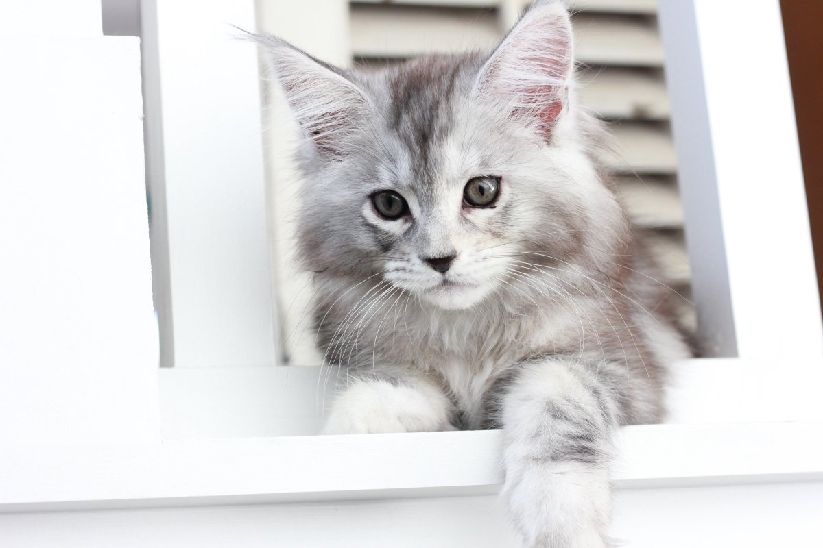 black silver tortie tabby maine coon