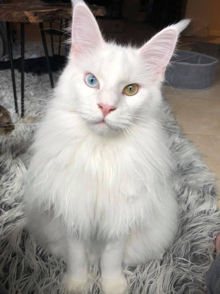 White Maine Coon - This Could Be The Coolest One Ever