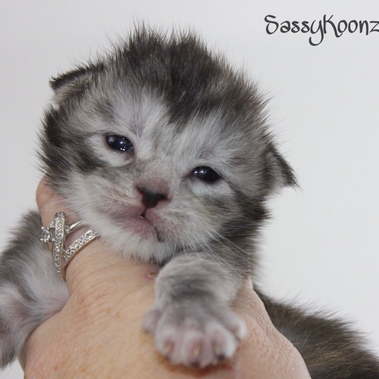 black silver torbie maine coon kitten