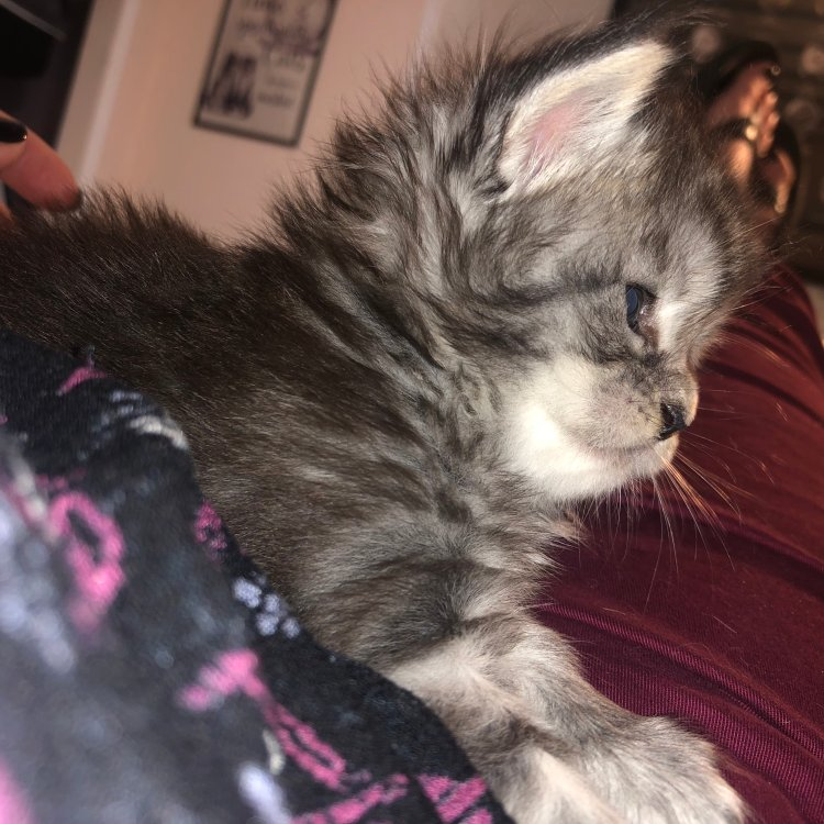pictures of maine coon cats