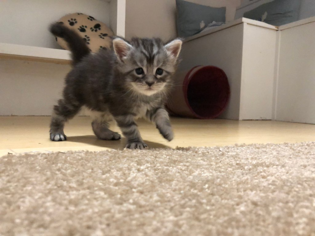 when do kittens start walking