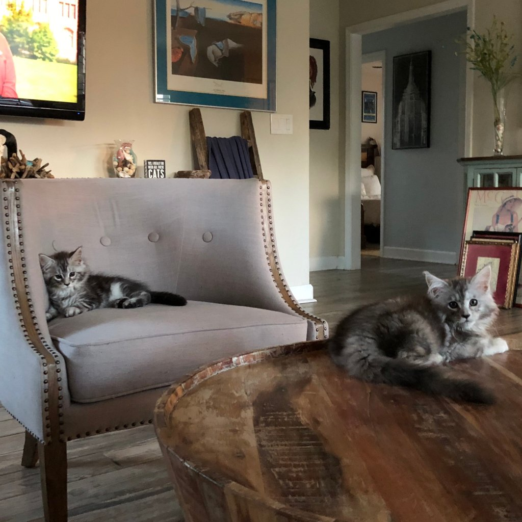 maine coon kittens hanging out