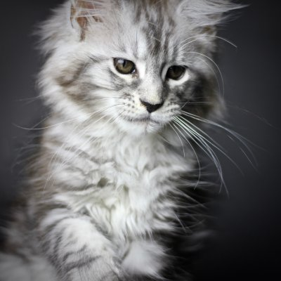 maine coon kittens in florida