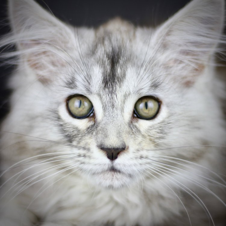 maine coon cats for sale