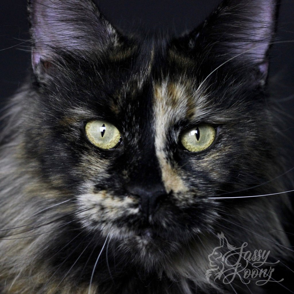 black tortie maine coon