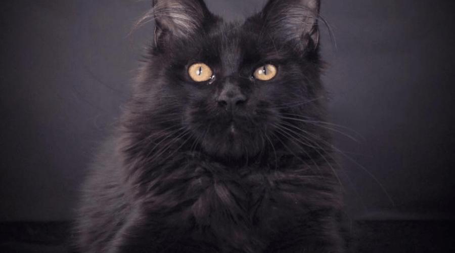 buy a Maine Coon Kitten