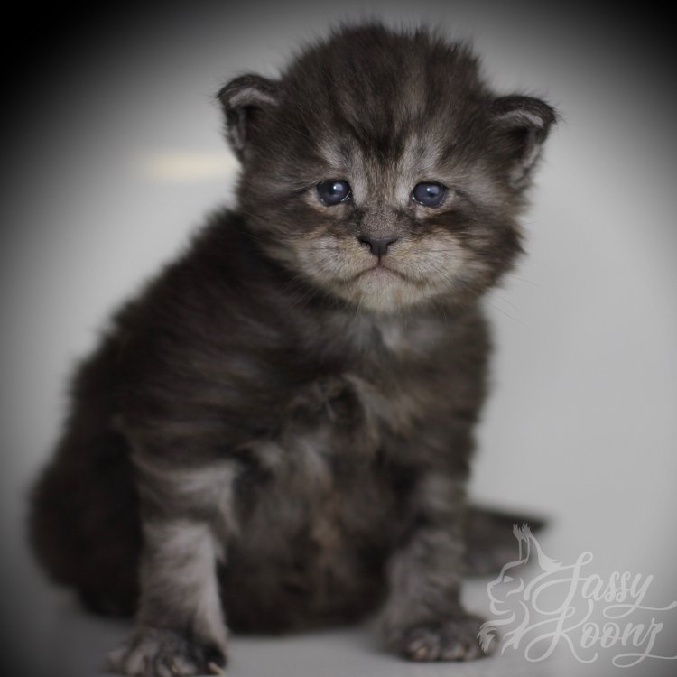 Maine Coon Kitten Florida
