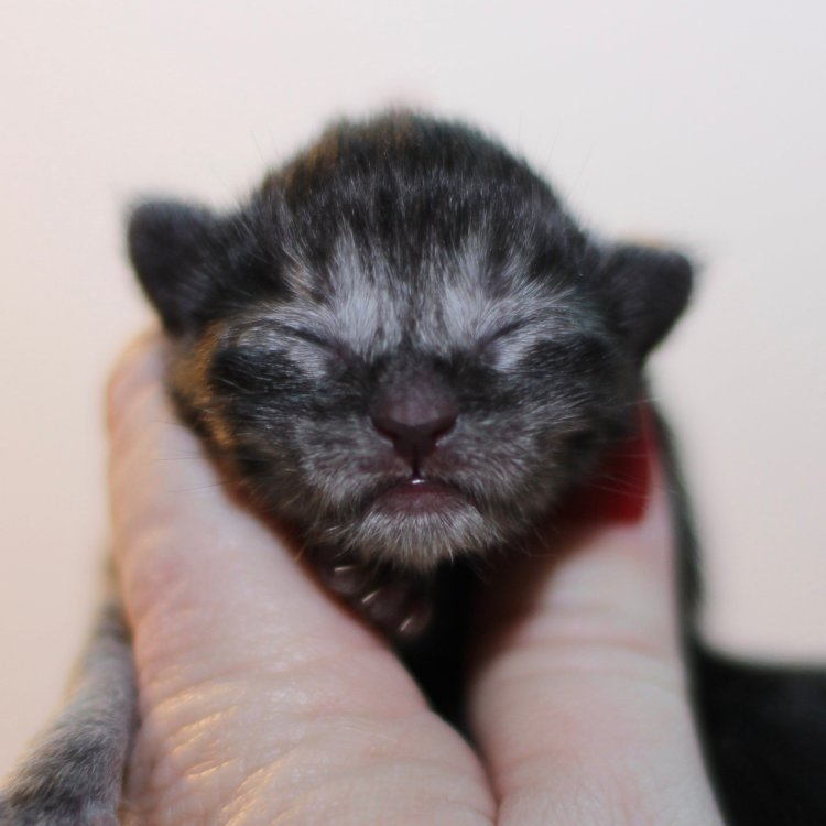 maine coon kittens for sale black smoke