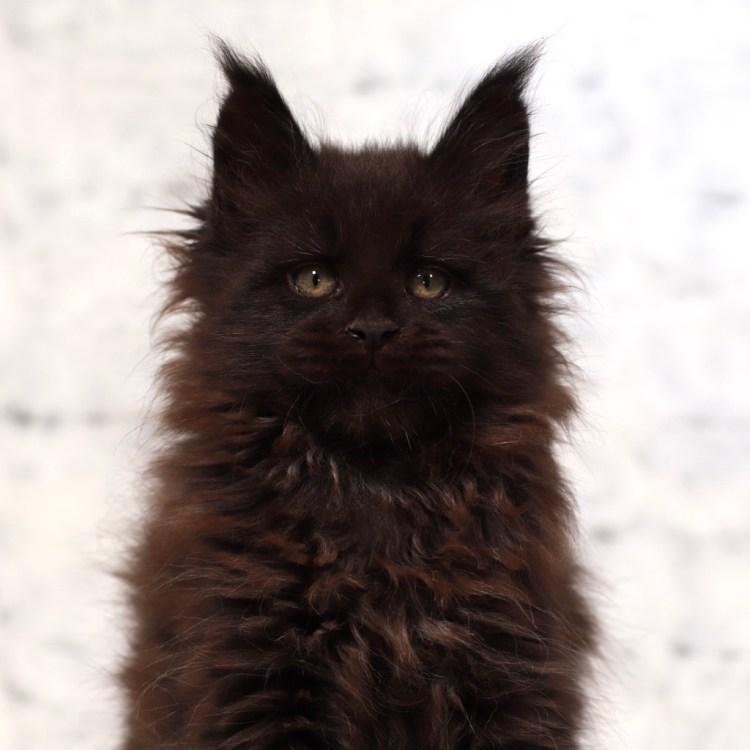 gorgeous Maine Coon kitten