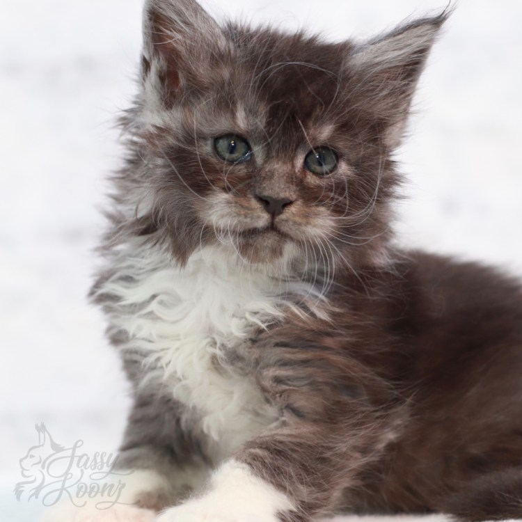 pictures of Maine Coon kittens