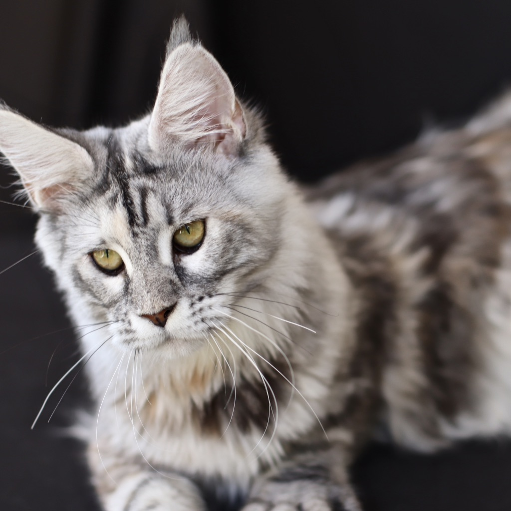 black silver maine coon queen