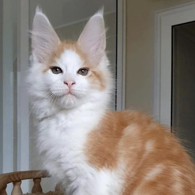 red tabby and white maine coon