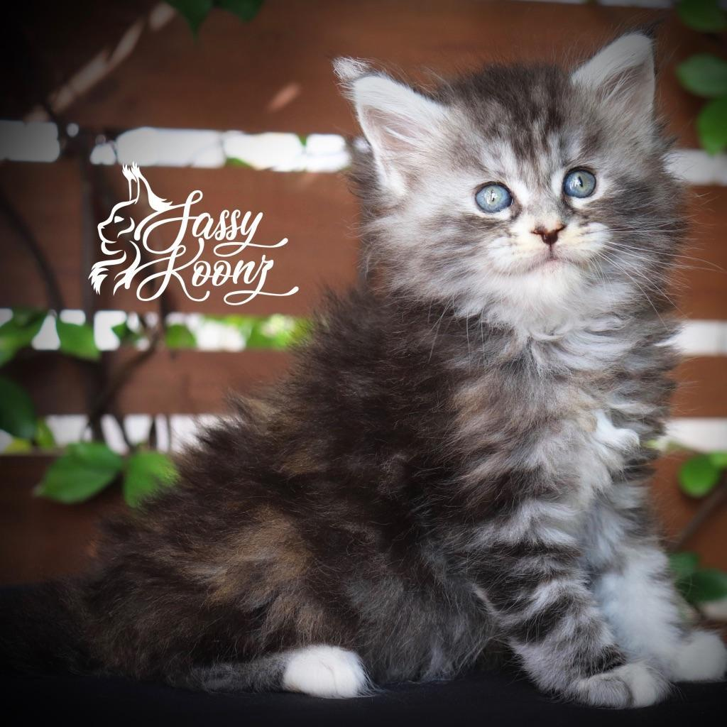 beautiful maine coon kittens for sale