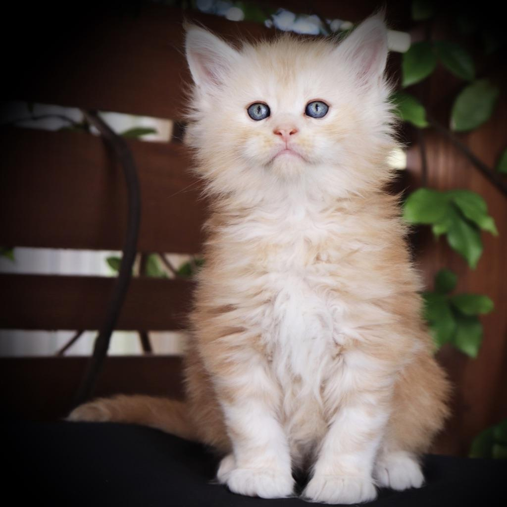 Maine Coon breeders in florida