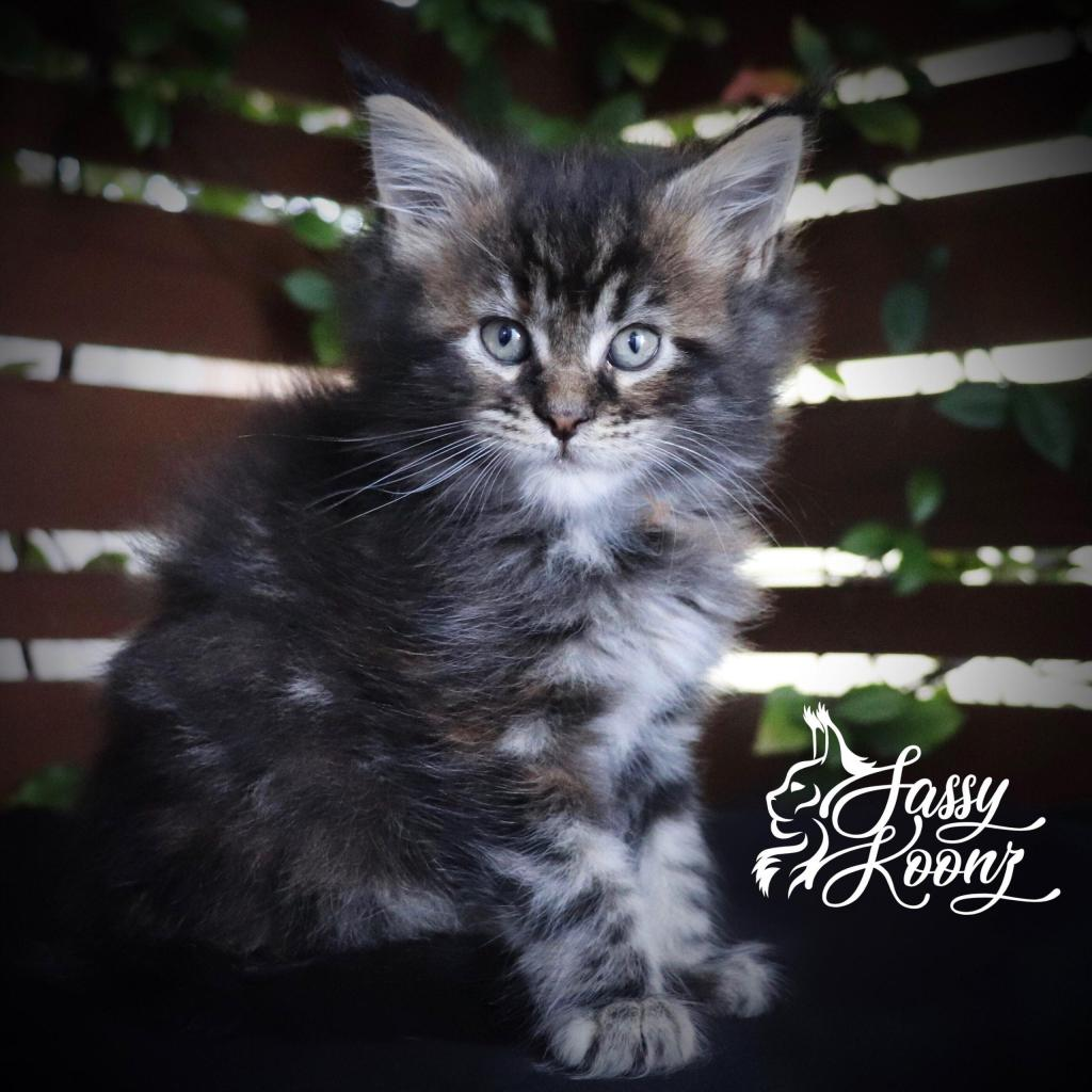 Maine coon kittens North Carolina