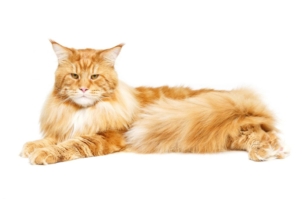 buy a healthy maine coon