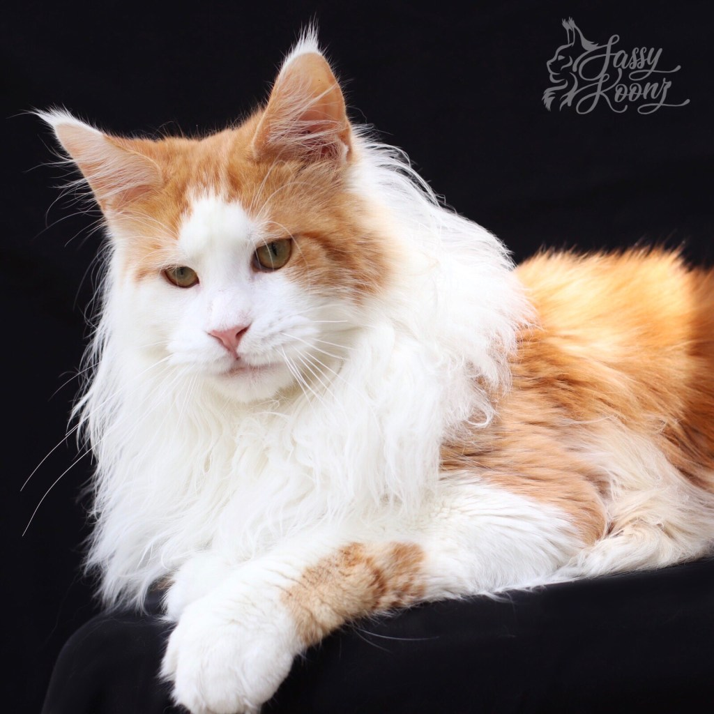 red smoke with white maine coon