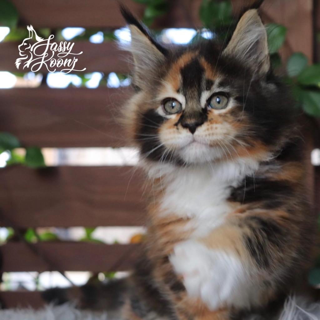 maine coon kitens for sale