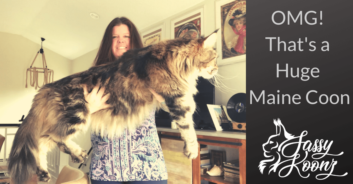 OMG! That's a Huge Maine Coon ⋆ :Sassy Koonz Maine Coons
