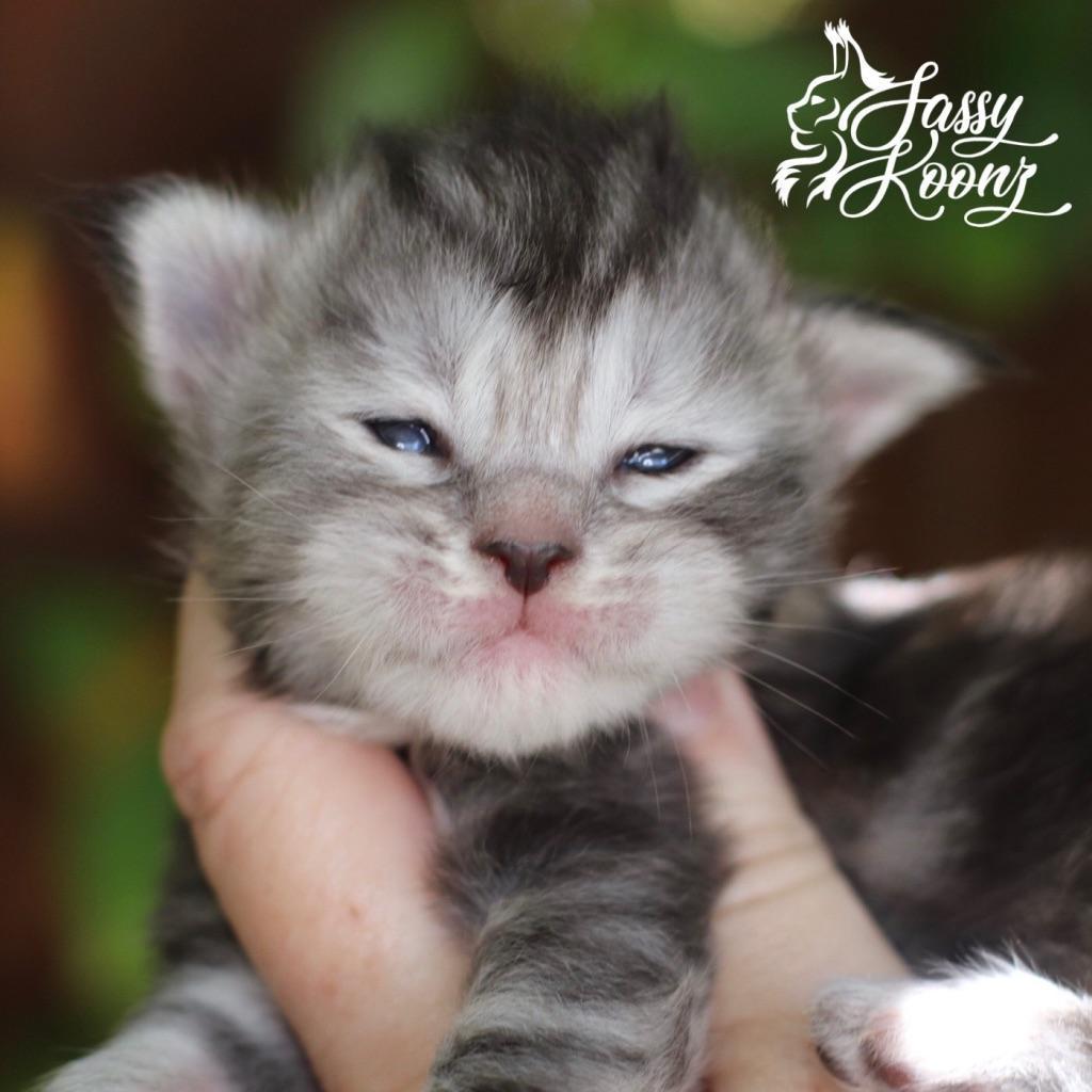 black silver torbie maine coon kitten