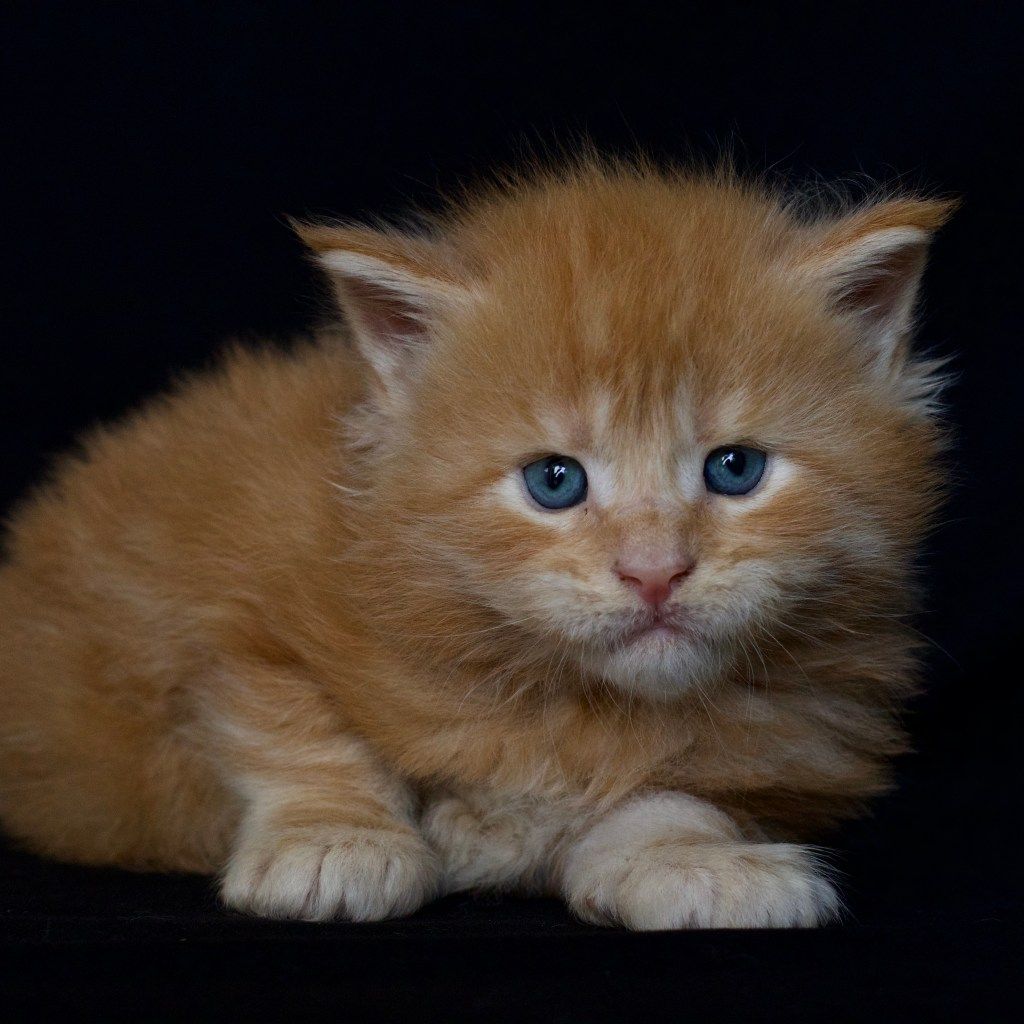 maine coon cat for sale