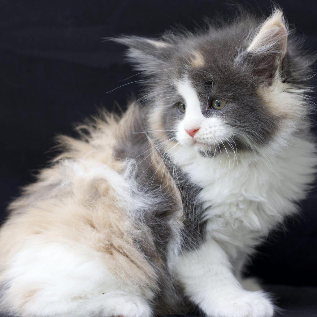 big maine coon kittens for sale