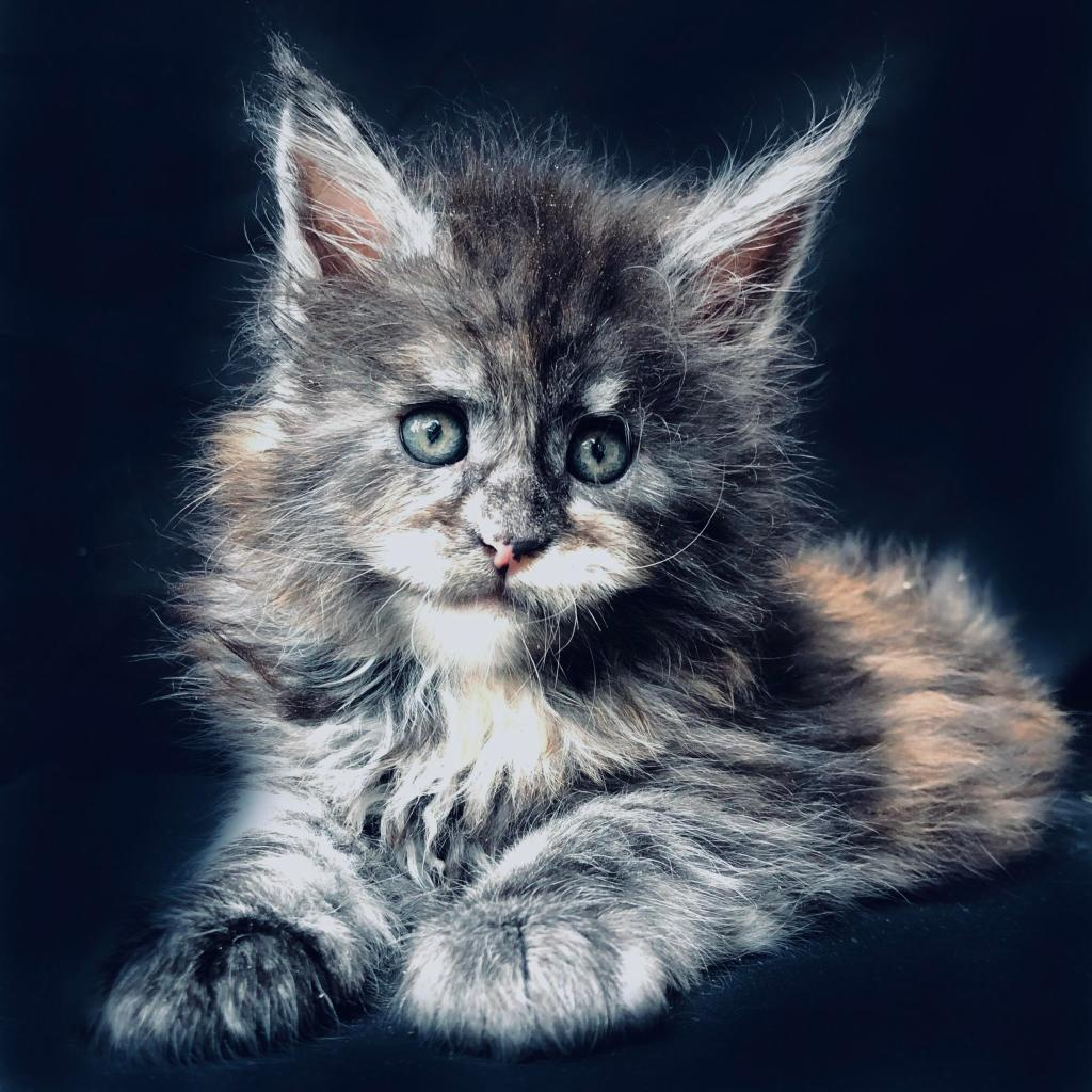 black tortie smoke maine coon for sale
