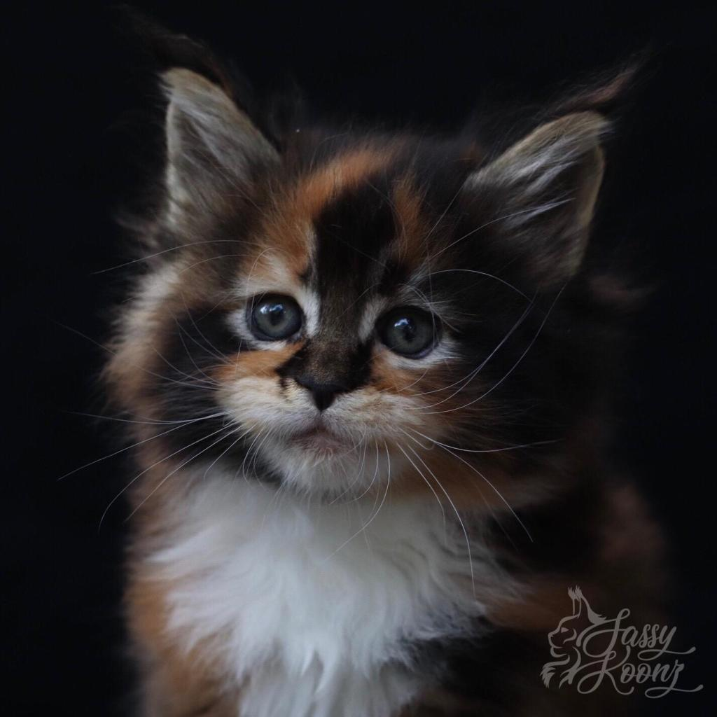 Calico Maine coon kitten for sale