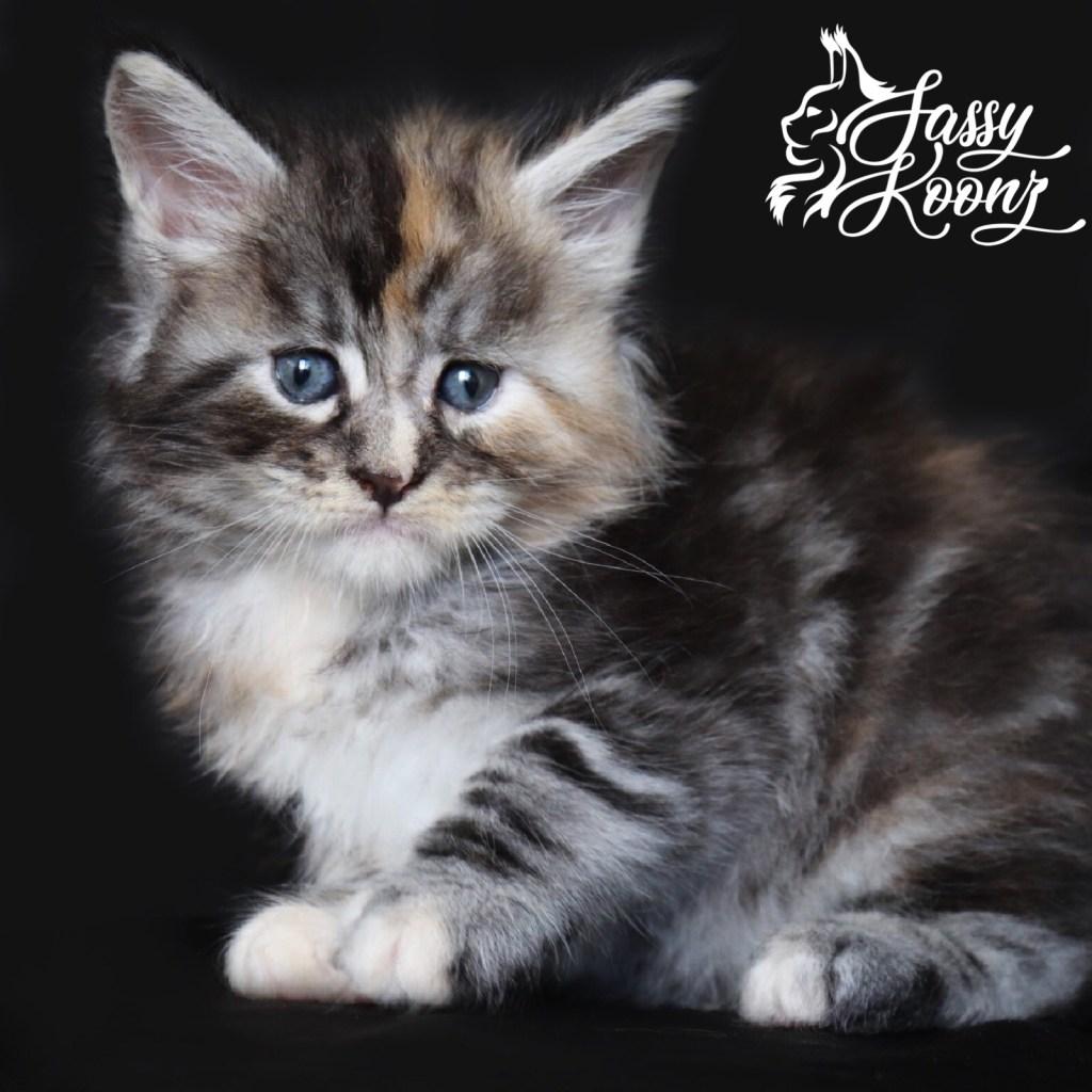 silver torbie maine coon kitten for sale