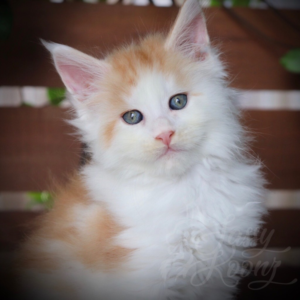 Reputable maine coon breeder
