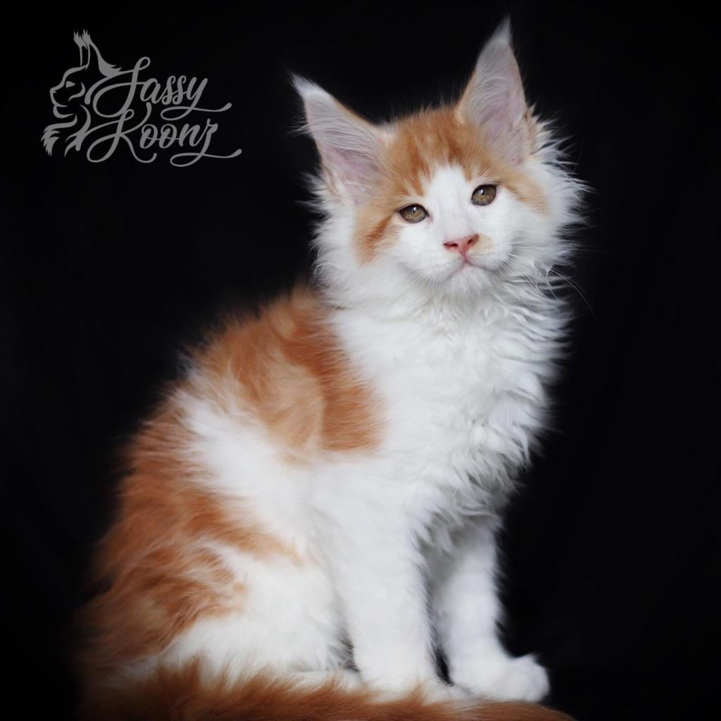 red smoke white maine coon kitten