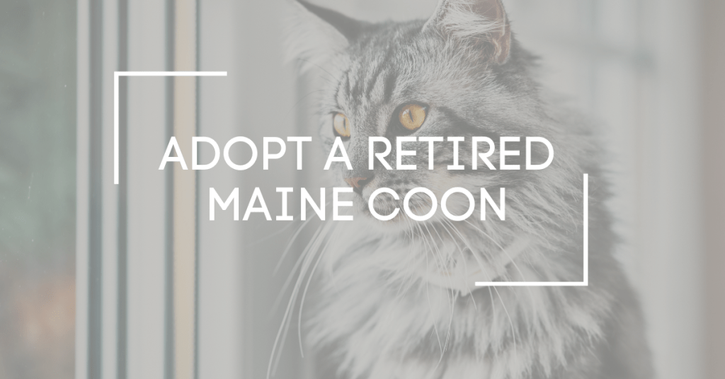adopt a retired maine coon