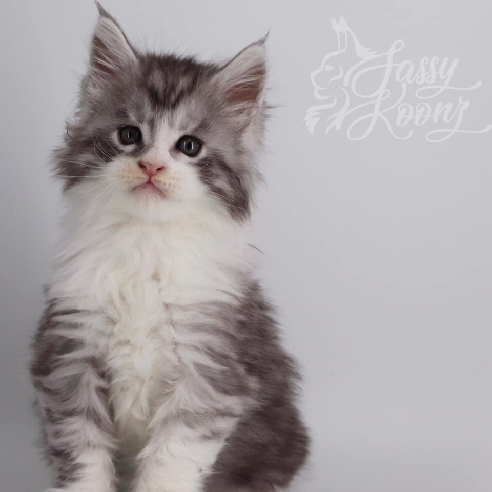 black silver tabby with white maine coon