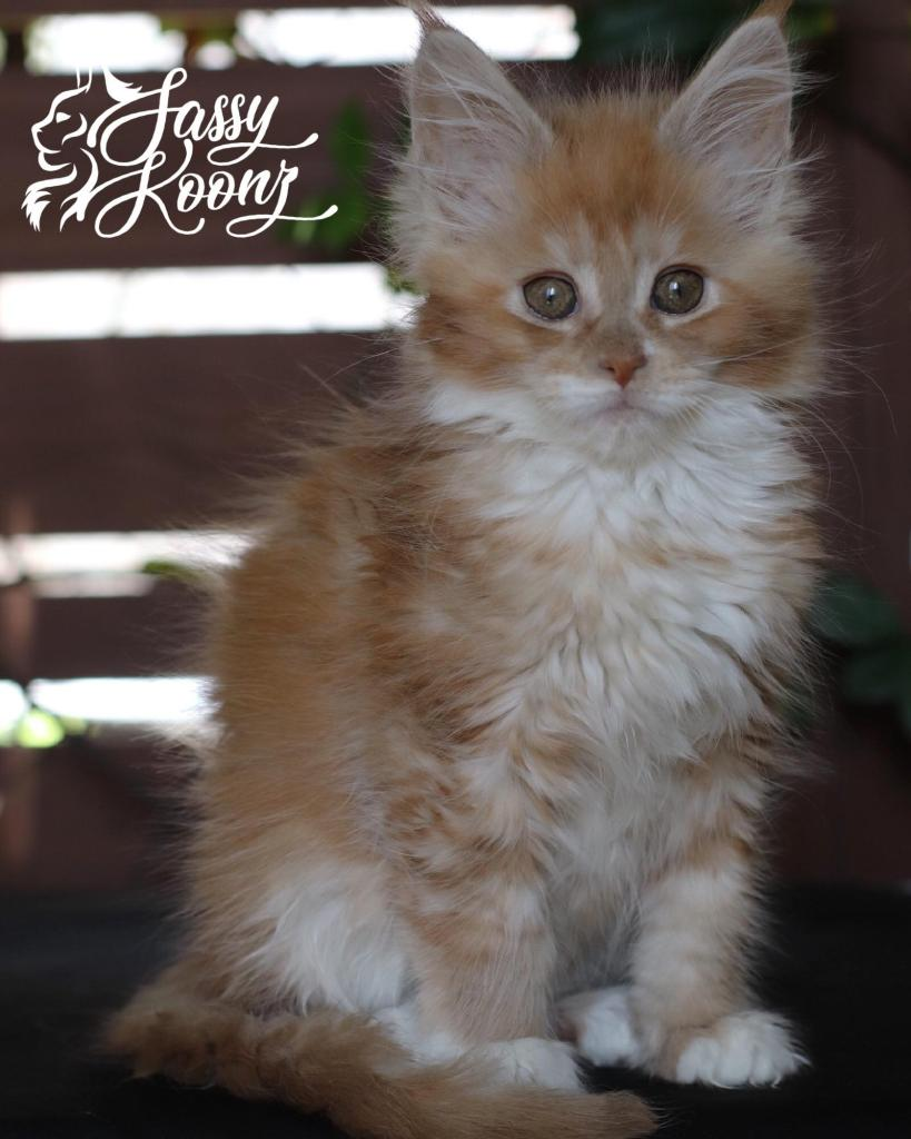 red smoke and white maine coon kitten