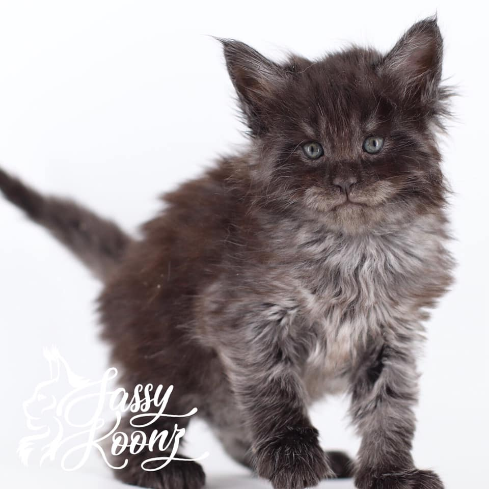 black smoke maine coon kittens