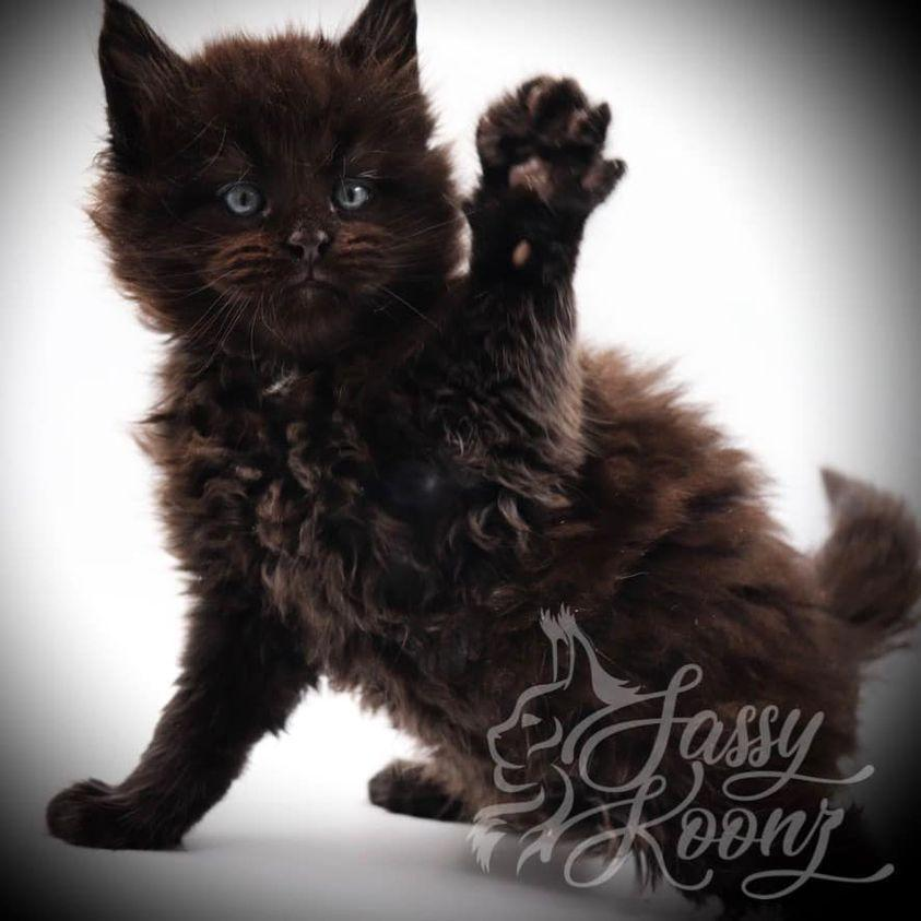 maine coon kittens florida