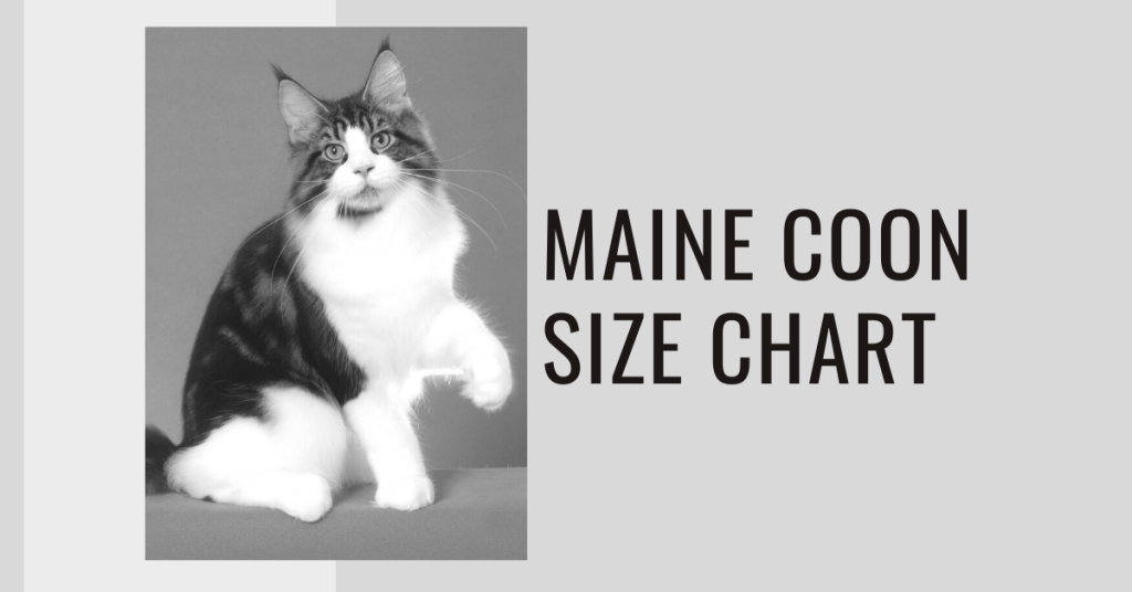 Maine Coon Size Chart