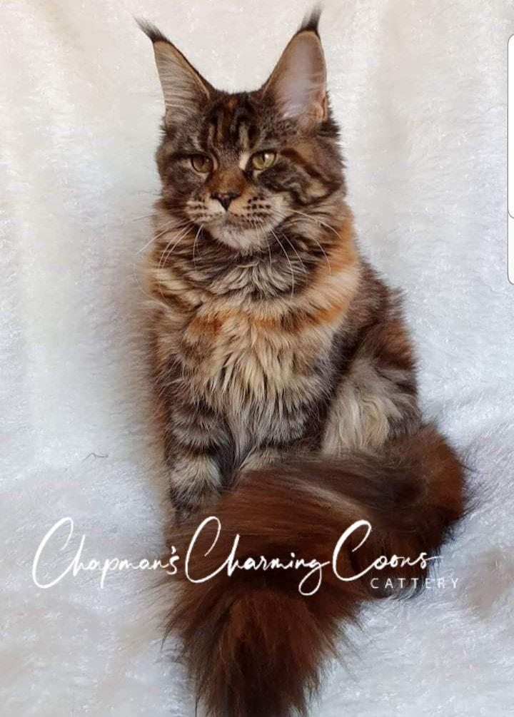 maine coon kittens for sale texas