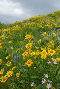 fabulous flower mixes bedeck the trails in Cache Creek mid-July.