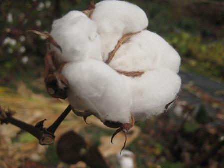 綿の木アップ