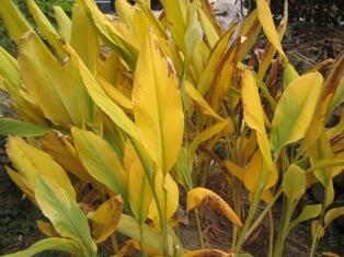 ウコンの葉
