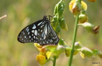 Butterfly, Murd - 12