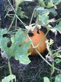 Our pumpkin.