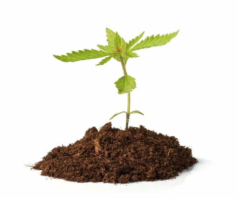 Cannabis Seedling Grow Guide - Learn Sativa