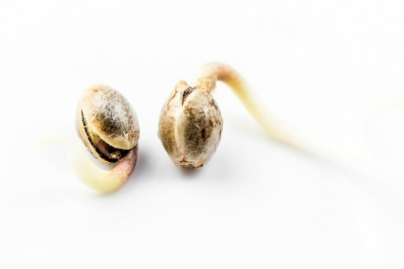 Germination Weed Seed - Grow Guide - Learn Sativa
