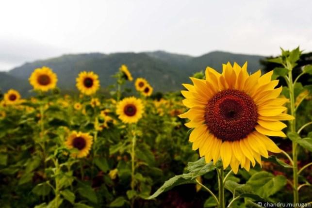 wallpaper bunga matahari cantik