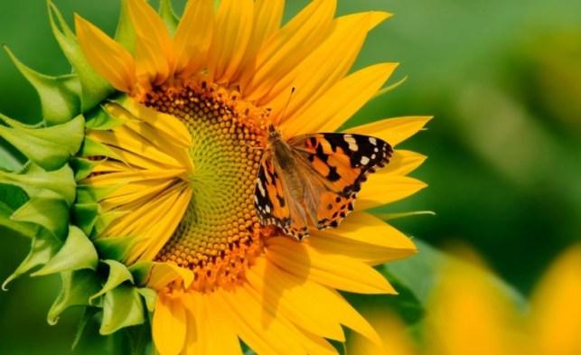 wallpaper gambar bunga matahari indah