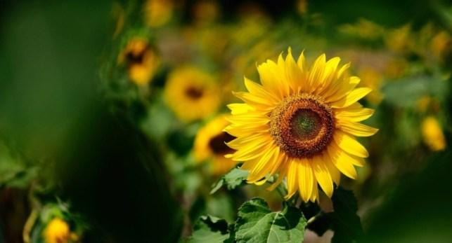 wallpaper gambar bunga matahari photography