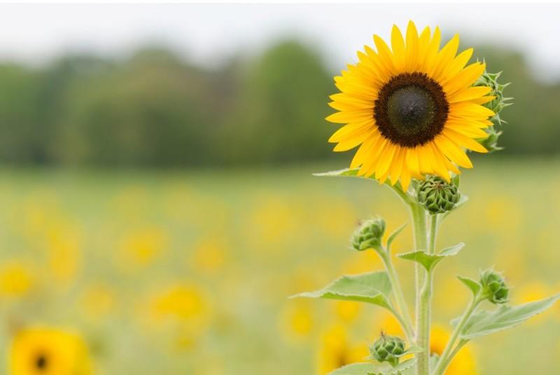 wallpaper gambar bunga matahari